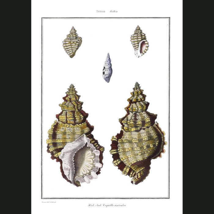 Fine art print for sale. Triton Seashells (II)