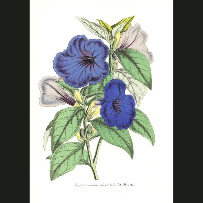 Fine art print for sale. Dipteracanthus spectabilis