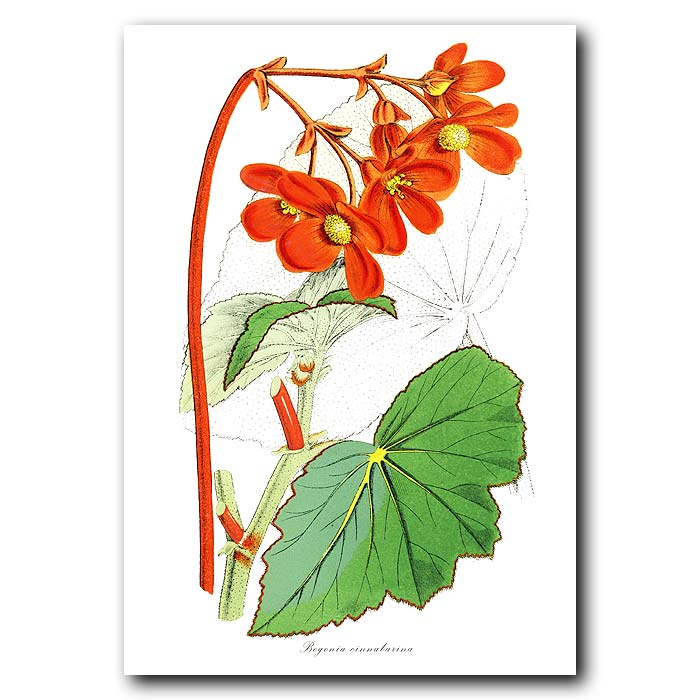 Fine art print for sale. Begonia cinnabarina