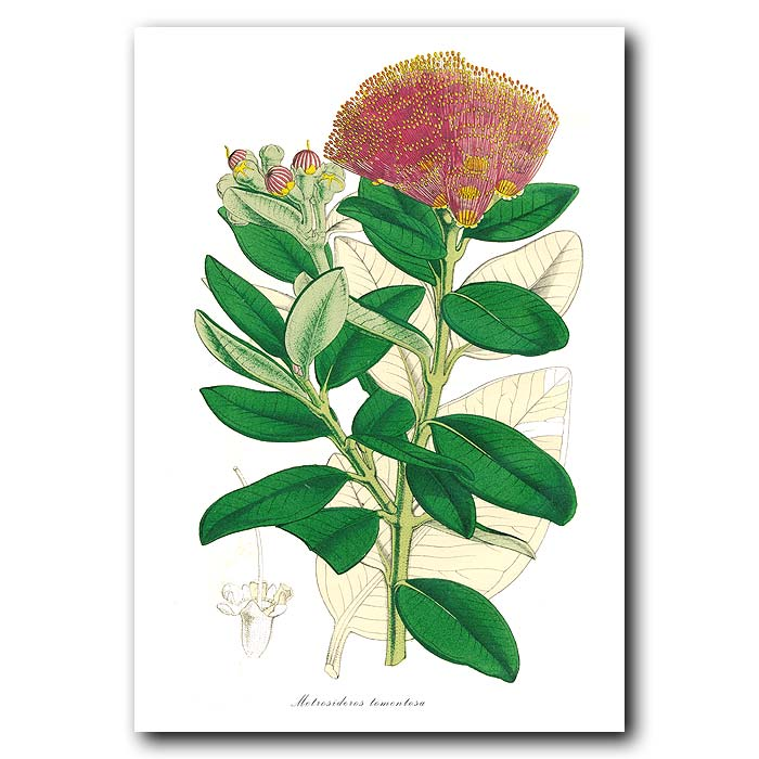 Fine art print for sale. Pohutukawa Tree Flower