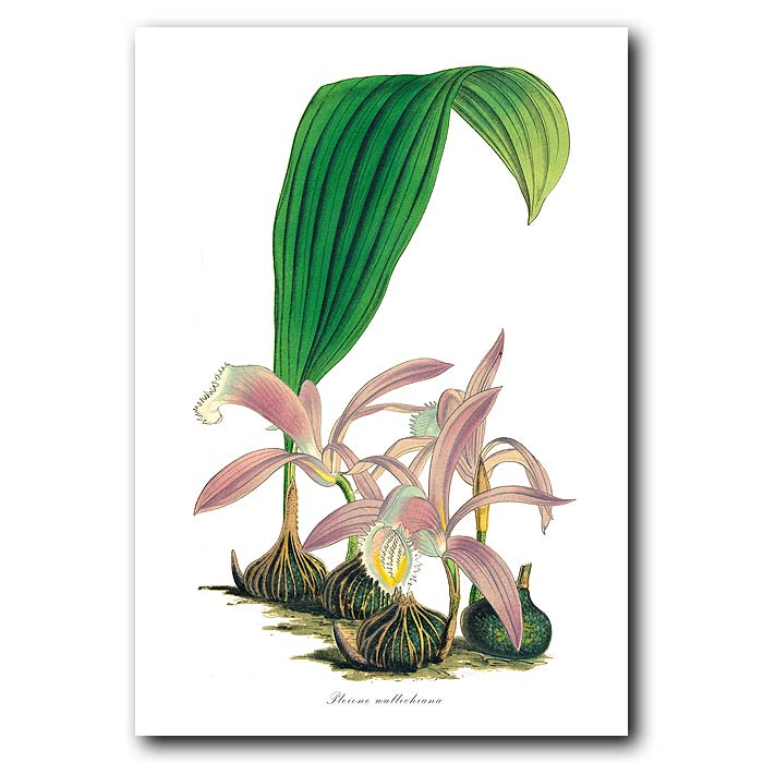 Fine art print for sale. Pleione Orchid