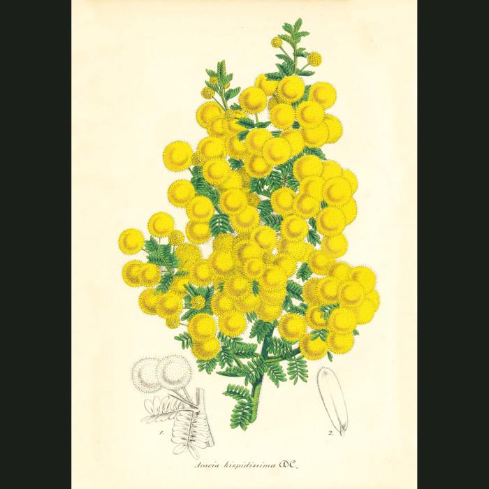 Fine art print for sale. Acacia hispidissima