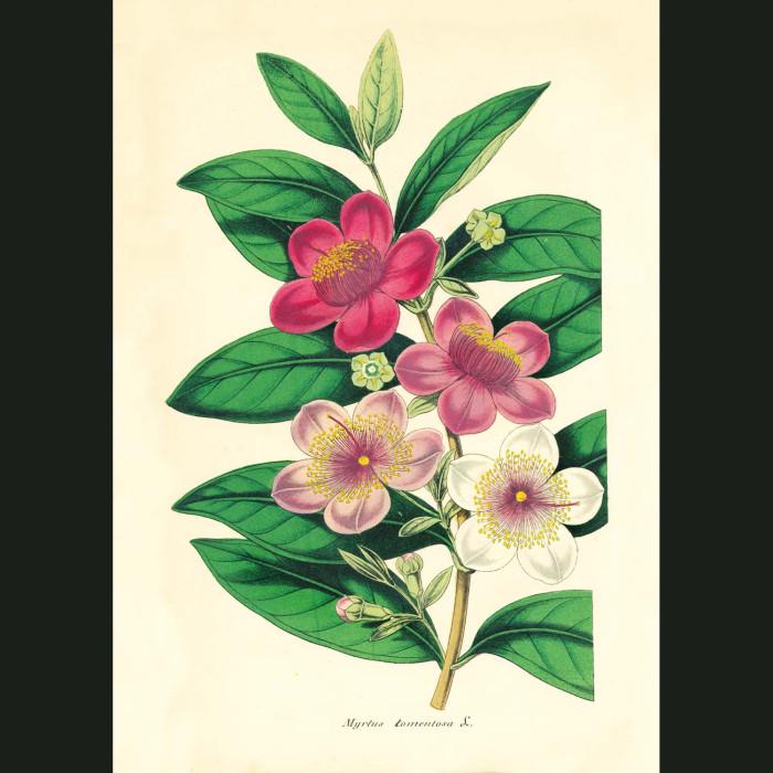 Fine art print for sale. Rose Myrtle