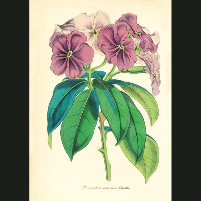 Fine art print for sale. Brunfelsia Pauciflor