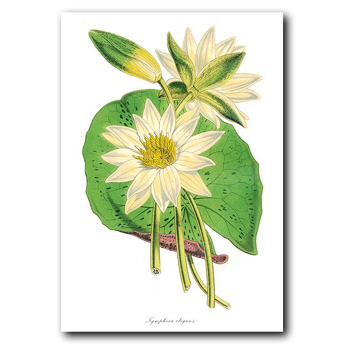 Fine art print for sale. White Lotus Flower