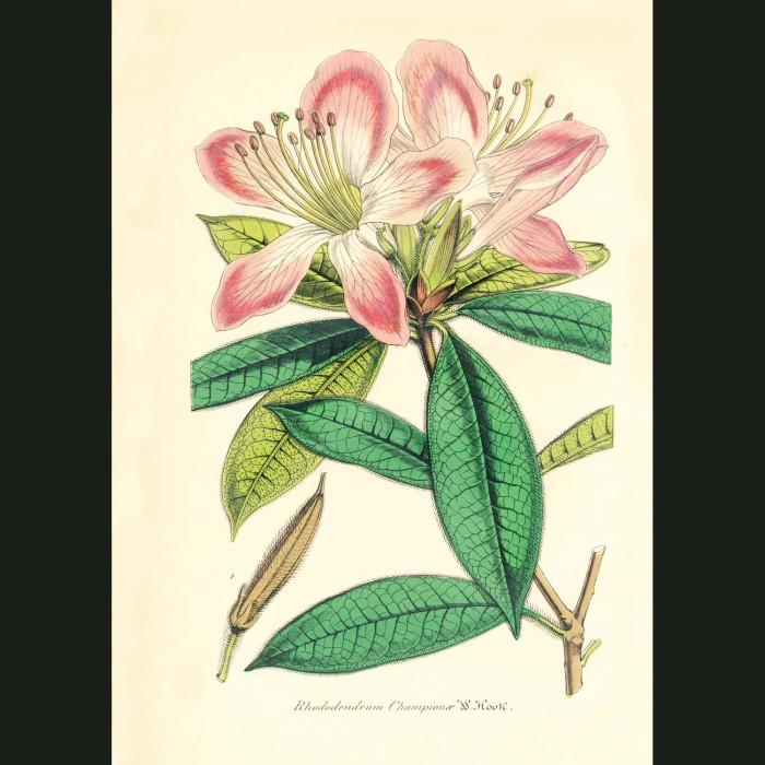 Fine art print for sale. Rhododendron Champion