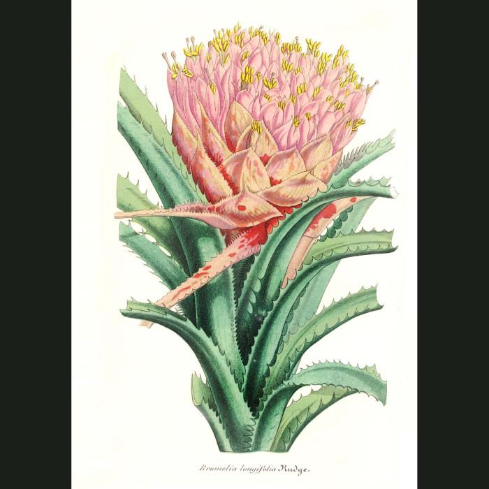Fine art print for sale. Bromeliad - Bromelia longifolia