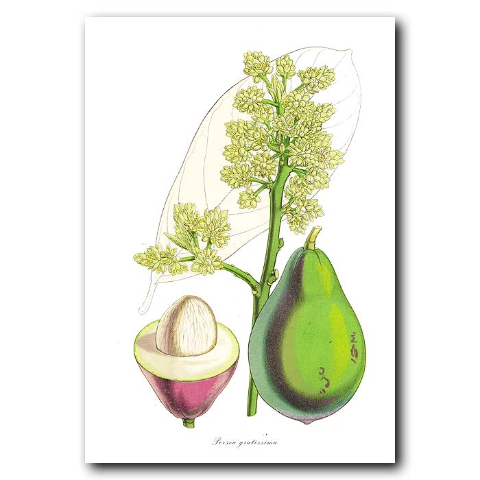 Fine art print for sale. Avocado Fruit and Flowers
