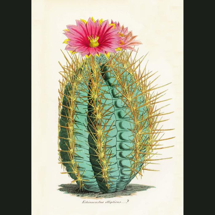 Fine art print for sale. Cactus Echinocactus ellipticus