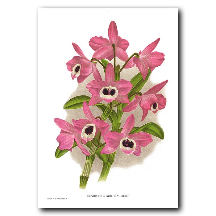 Fine art print for sale. Dendrobrium Nobile Orchid from China