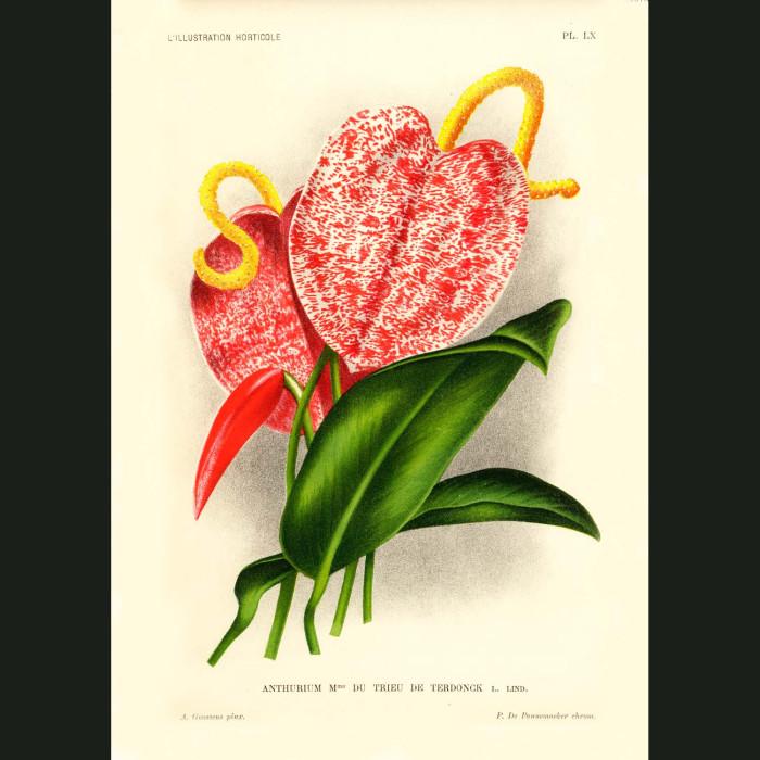 Fine art print for sale. Anthurium Flowers