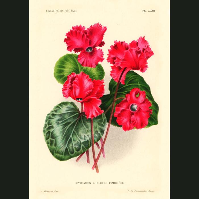 Fine art print for sale. Cyclamen