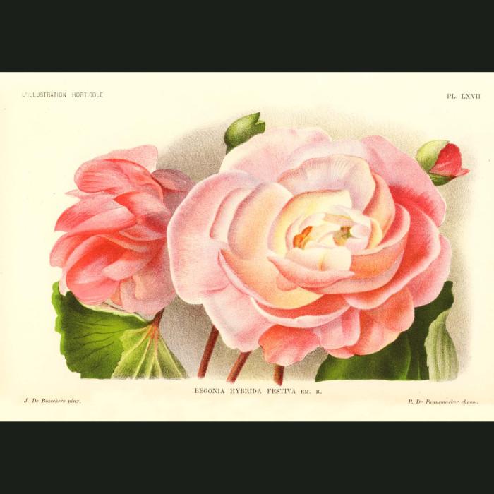 Fine art print for sale. Begonia Festiva Flowers