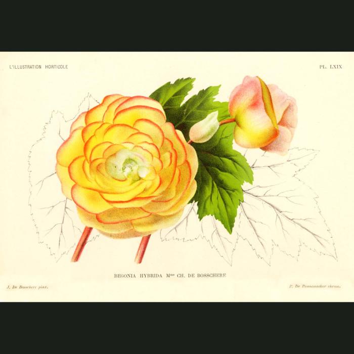 Fine art print for sale. Begonia Flowers
