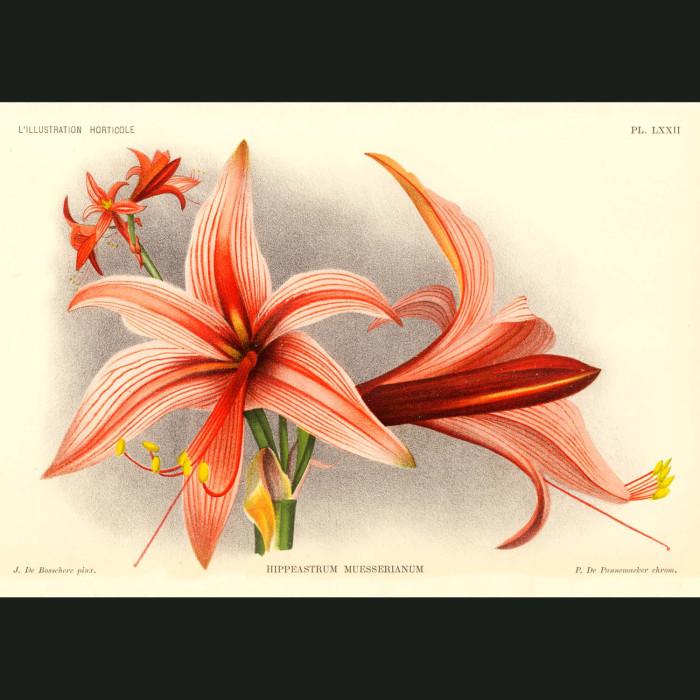 Fine art print for sale. Orange Amaryllis
