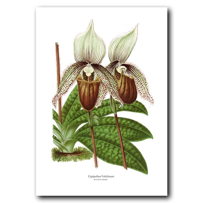 Fine art print for sale. Lady's Slipper Orchid from Java