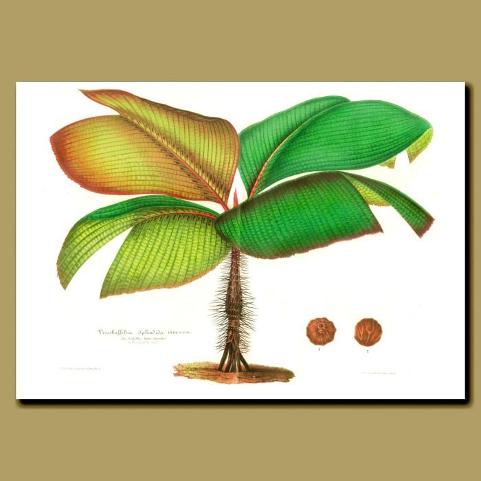 Fine art print for sale. Seychelles Stilt Palm