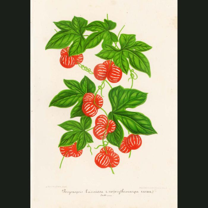 Fine art print for sale. Lollipop Plant