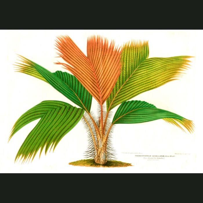 Fine art print for sale. Thief Palm or Latanier Palm