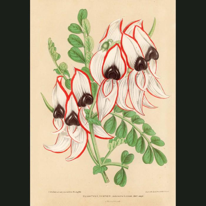 Fine art print for sale. Sturt's Desert Pea
