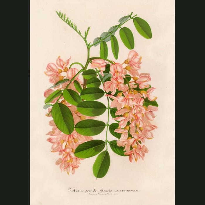 Fine art print for sale. Black Locust Tree Flowers