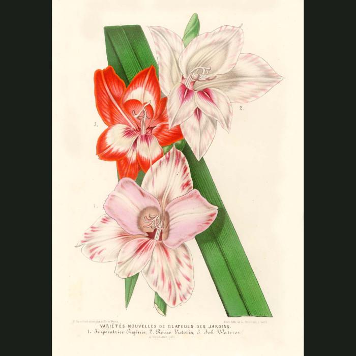 Fine art print for sale. Gladioli Flowers