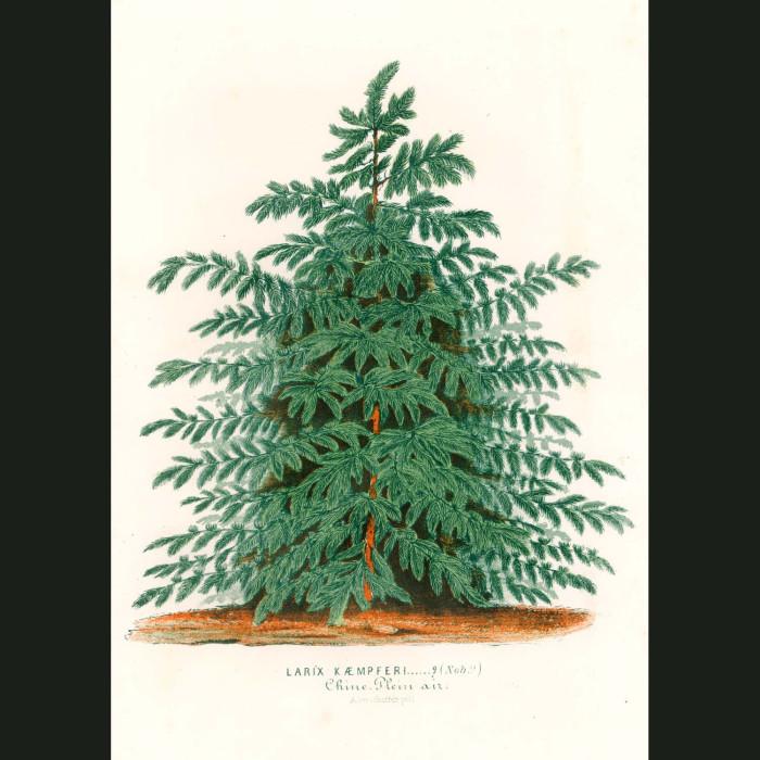 Fine art print for sale. Japanese Larch Tree