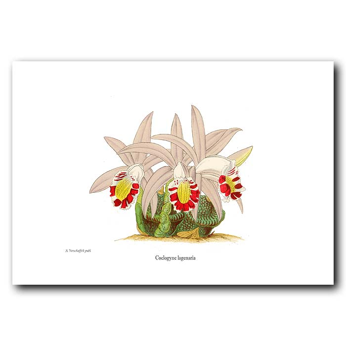 Fine art print for sale. Himalayan Orchid
