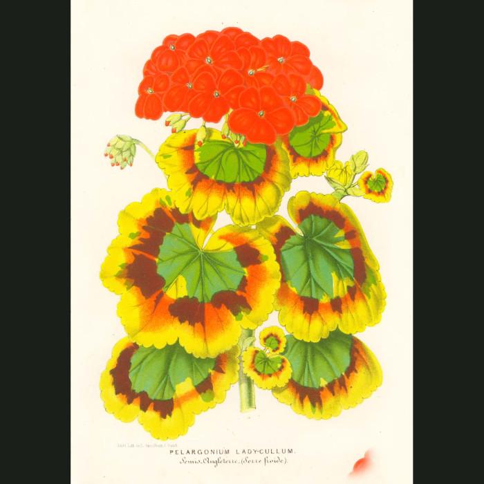Fine art print for sale. Geranium Flowers