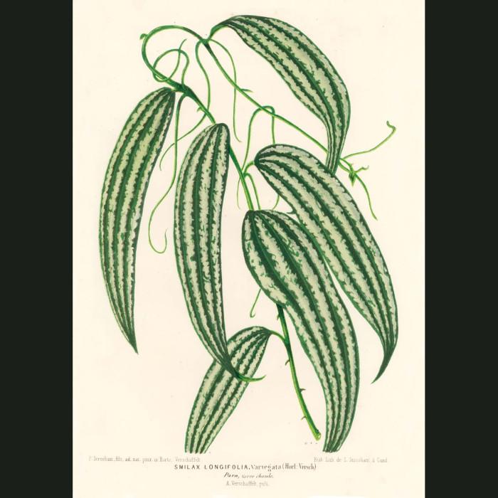 Fine art print for sale. Smilax longifolia plant