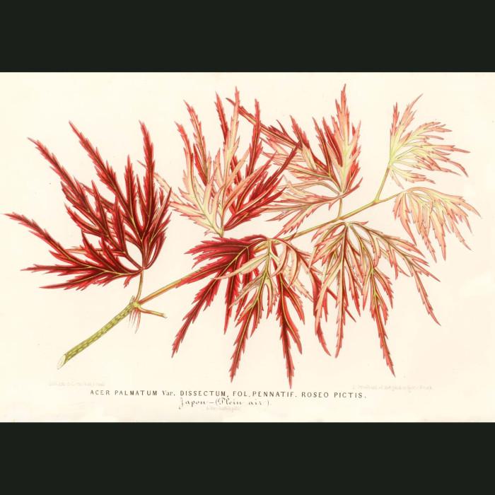 Fine art print for sale. Japanese Acer (II)