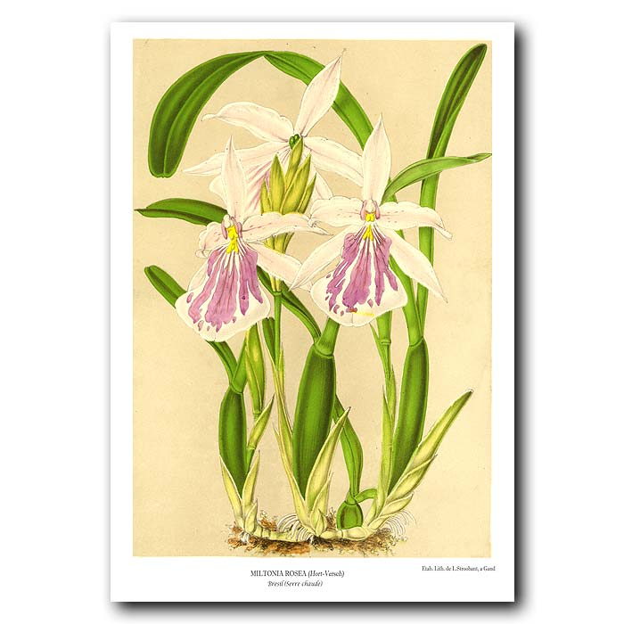 Fine art print for sale. Miltonia Rosea Orchid