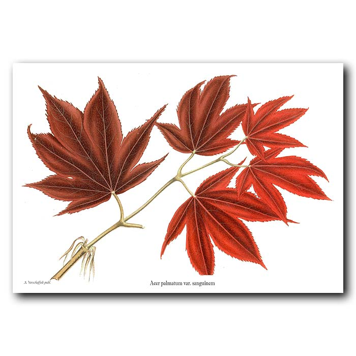 Fine art print for sale. Japanese Acer