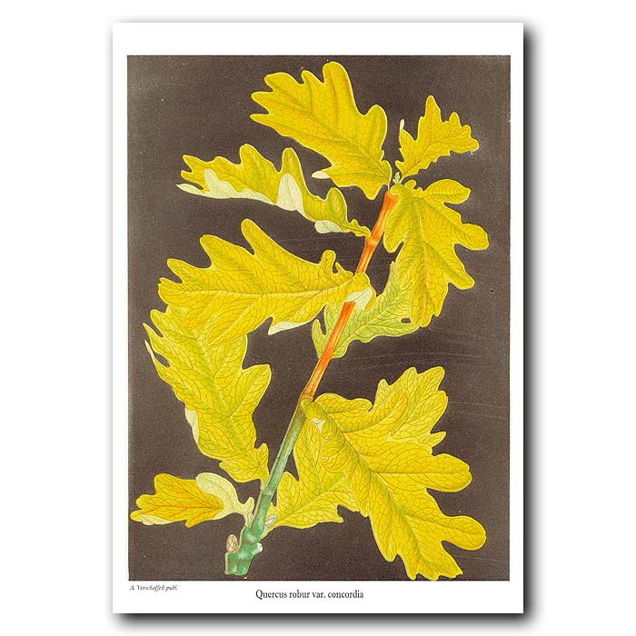 Fine art print for sale. Oak Leaves