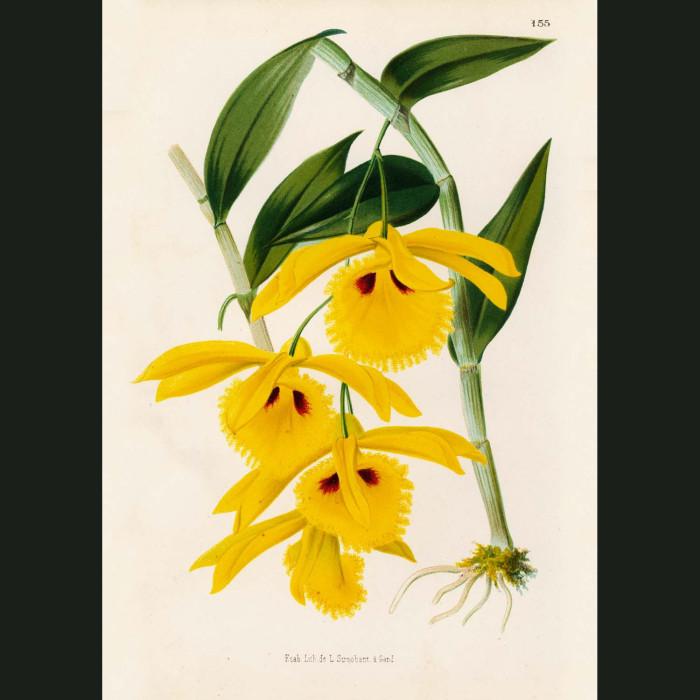 Fine art print for sale. Dendrobium Chrysotis Orchid