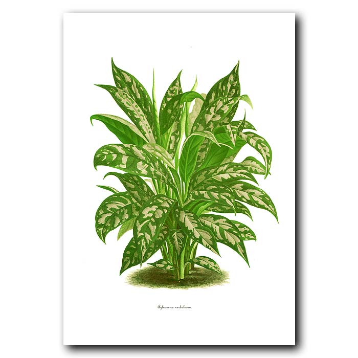 Fine art print for sale. Chinese Evergreen