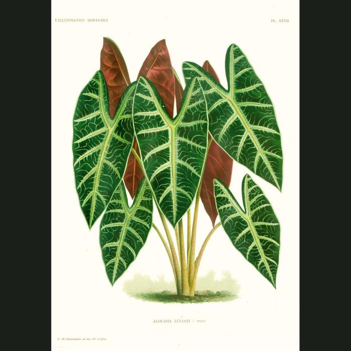 Fine art print for sale. Taro Plant