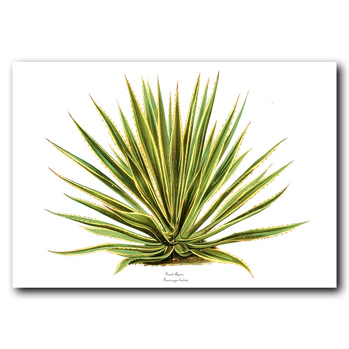 Fine art print for sale. Giant Agave