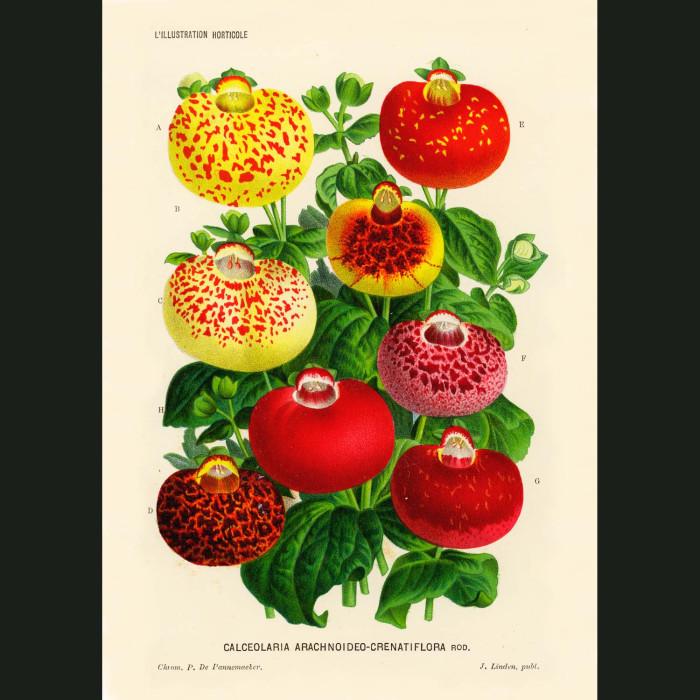 Fine art print for sale. Slipper Flowers