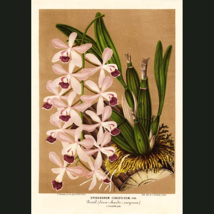 Fine art print for sale. Epidendrum Conspicum Orchid
