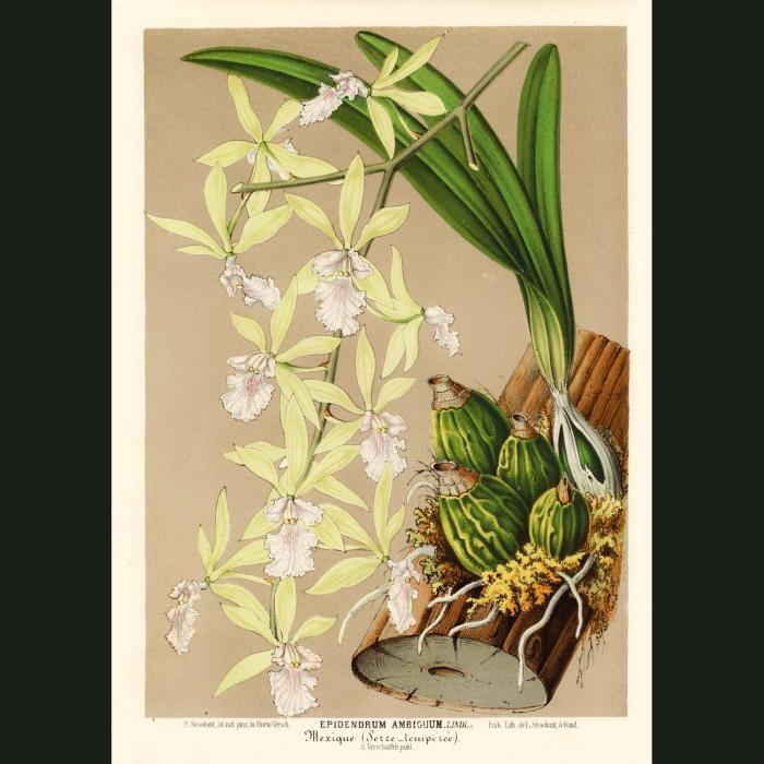 Fine art print for sale. Cattelya Orchid