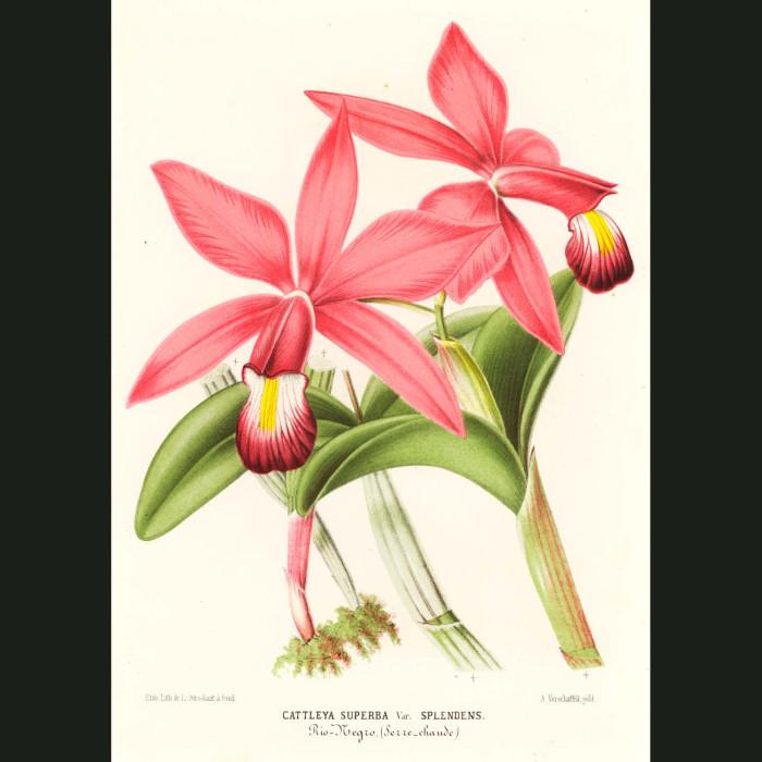 Fine art print for sale. Cattleya Superba Orchid