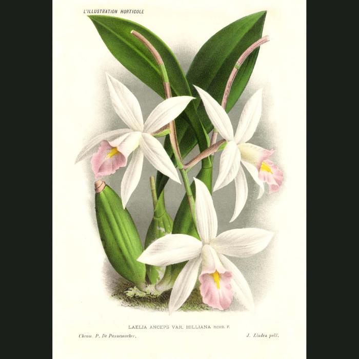 Fine art print for sale. Laelia Hilliana Orchid