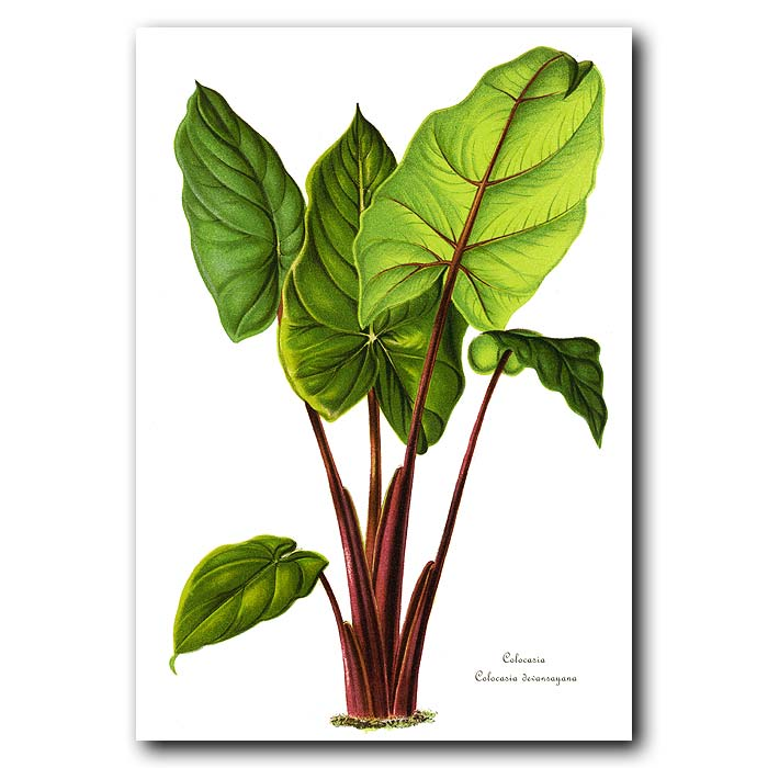 Fine art print for sale. Alocasia from New Guinea