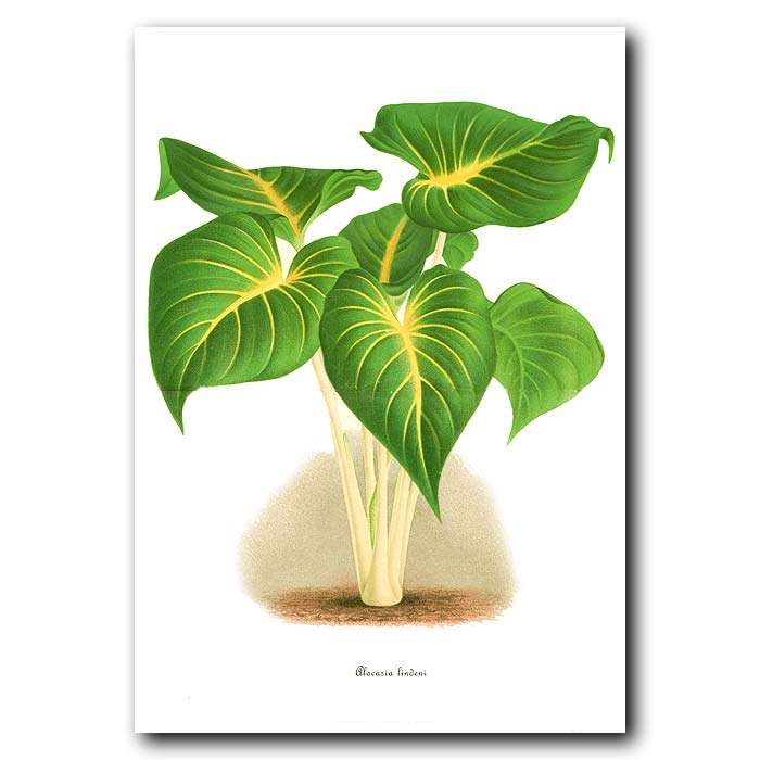 Fine art print for sale. Alocasia Plant