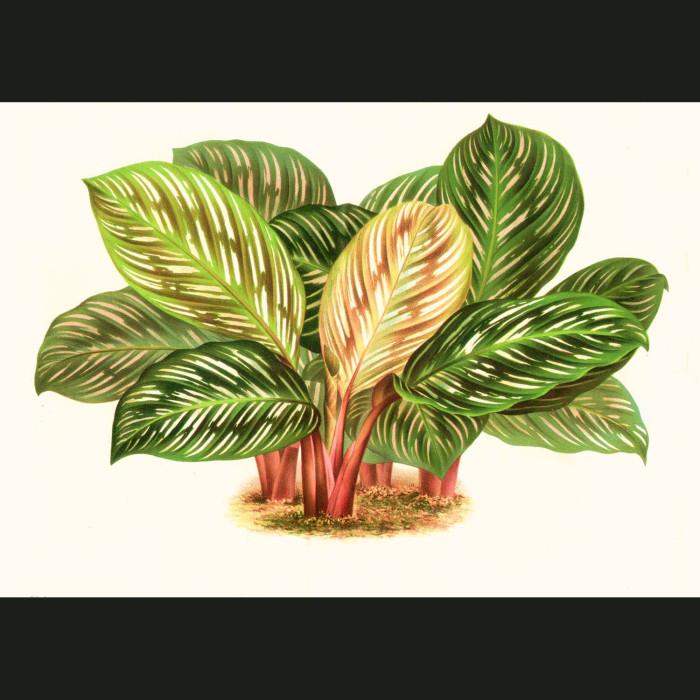 Fine art print for sale. Calathea Plant