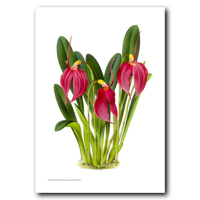 Fine art print for sale. Masdevallia Orchid from Colombia