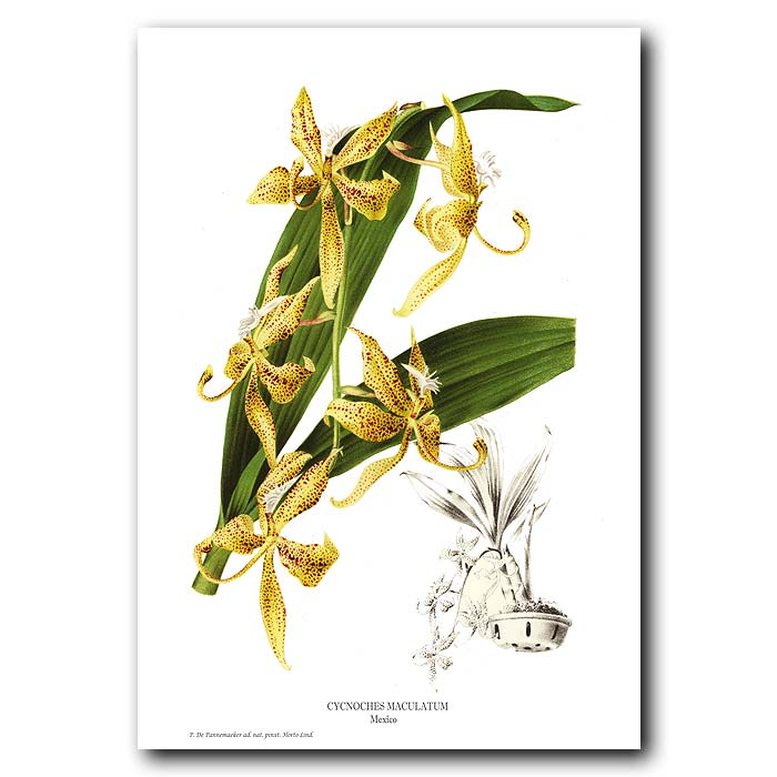 Fine art print for sale. Cycnoches Maculatum orchid from Mexico