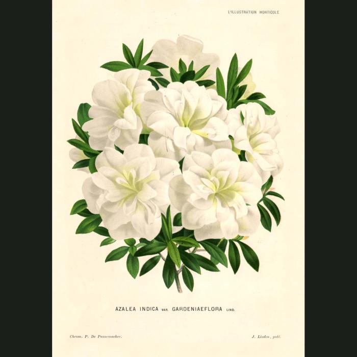 Fine art print for sale. Azalea
