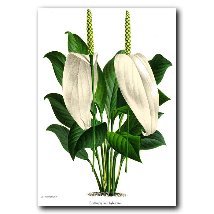 Fine art print for sale. Peace Lily Flowers
